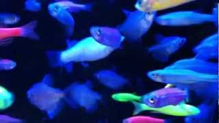 Fish relaxation scene -- real life fish swimming to their delight