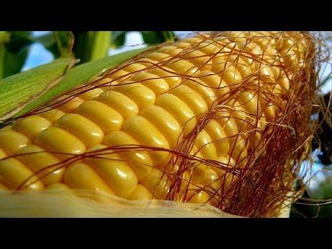 Выращивание Кукурузы как бизнес идея