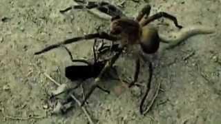 cavalo do cao matando aranha armadeira