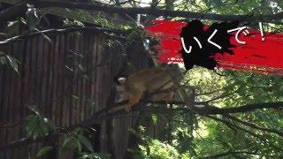 面白い 猿!リスザル の 決 闘!