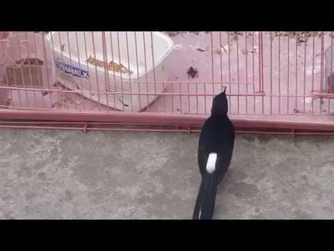chim: 1 trong nhung hinh anh cua chim chich choe than choe lua tha rong