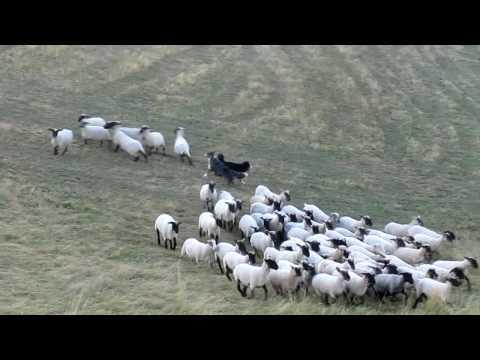Herding: Australian Shepherd Chaplin & Flame - Schafe hüten (2)
