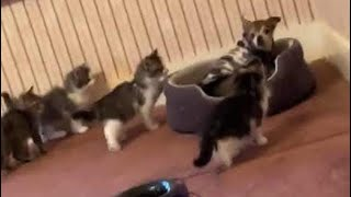Dog Overwhelmed By Curious Kittens In Adorable Video