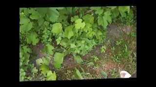 Урок для начинающих виноградарей(, 2014-06-14T21:26:28.000Z)
