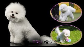 The Ultimate Guide To Caring For A Bichon Frise