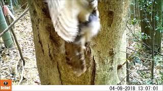 説明 Owl フクロウ 巣 2018 04 08 3c.
