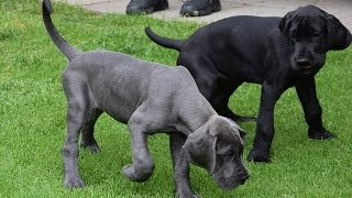 ***Great Dane Potty-Training Free-Mini Course***