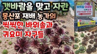 몽산포 해수욕장 바위솔 재배농가/#왕대품바위솔 #자구들
