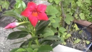 サントリーフラワーズの「赤い花プロジェクト!」に応募した所見事に採...