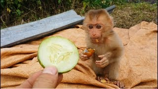 For The First Time, Baby Monkey Eats Cucumbers And Must Be Fed Other Food