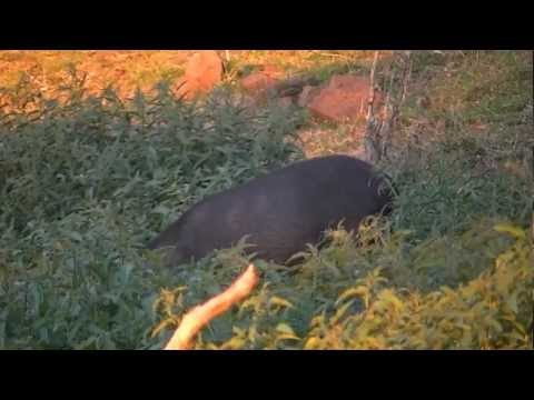 helicopter pig hunting australia with P6dr863k7cc on Pig Huntingmangamukacolin Blade Nortoncg 838a8a7b608380da741a31 furthermore 6yq8QiaCA1M further 1jci2TfLIOw further Pig Hunt Nt besides 2017.