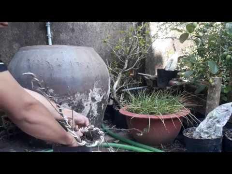 Cách uốn cây sung con có thân quái – how to bend fig trees with a freak