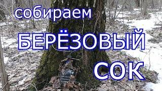 Собираем Берёзовый сок