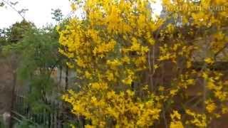 99. Весна. Все цветет в Оксфорде, Англия. Spring. Flowers in Oxford.(, 2014-05-04T14:17:36.000Z)