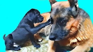 ⭐Настоящий друг! A true friend. Райд и щенки Кане-Корсо.