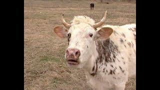 Крупному рогатому скоту необходима прививка