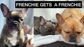 Frenchie Gets A Puppy Frenchie