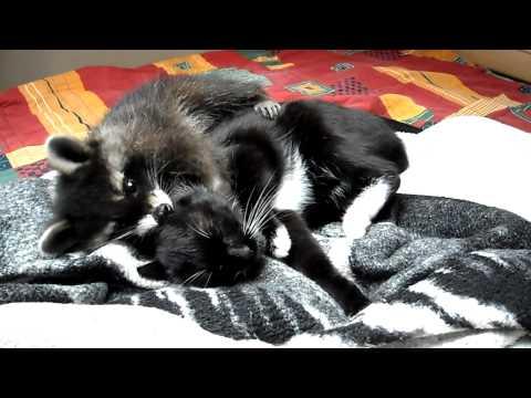 Waschb r im Bett mit 2 Katzen Morgentliches Ritual Racoo