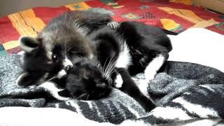 Waschbär im Bett mit 2 Katzen , Morgentliches Ritual , Racoon , Balou von GP35i