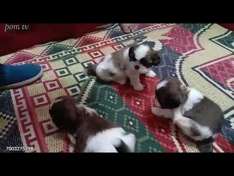 Pure home breed || shihtzu & pug || puppy sale in kolkata (india) Pom tv
