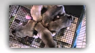 Западносибирская лайка порода собак