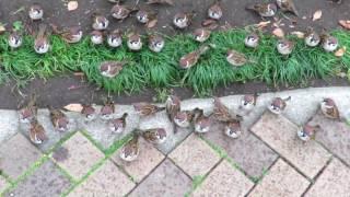 これがスズメの学校か!ごはんを待つスズメたちのちょこまかミニチマ風景