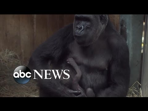 Zoo visitors help gorilla welcome newborn Moke