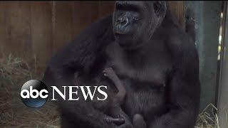 Zoo visitors help gorilla welcome newborn Moke