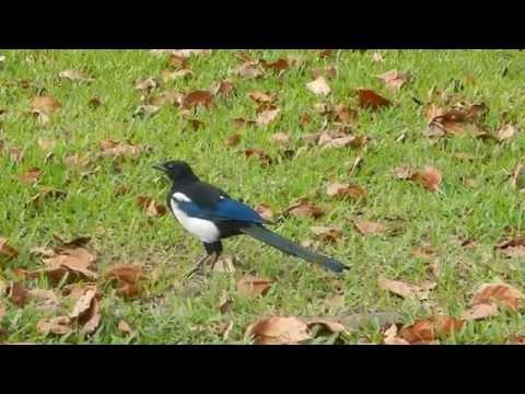 Oriental magpie robins @ 228 Peace Memorial Park, Taiwan