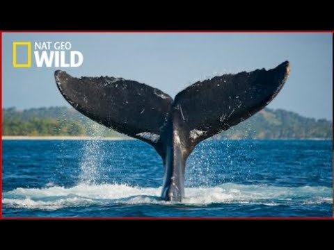 Nat Geo WILD - Ocean Voyager Whale - BBC Documentary History