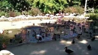 Flamingo feeding time