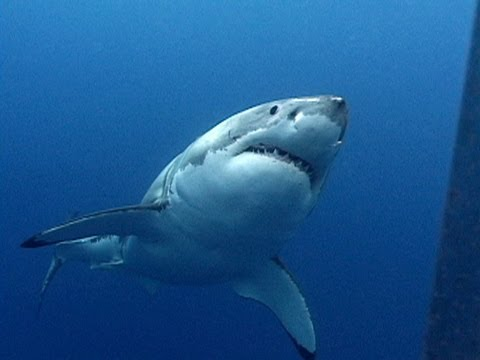 Great White Sharks Jonathan Bird S Blue World Youtube