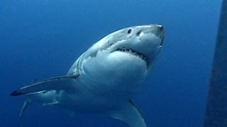 Great White Sharks   Jonathan Bird's Blue World