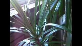 Dracaena Marginata (Dragon Tree) - Ians Tropical Paradise