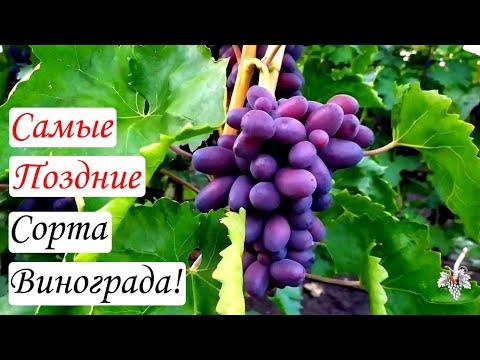 Самые поздние сорта винограда. Виноград 2015.