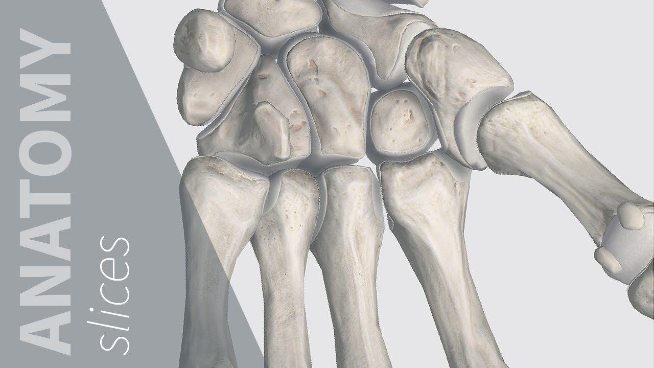 Bones of the Wrist   Anatomy Slices - YouTube