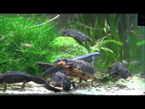 Cynops ensicauda popei Fütterung / feeding Pellets