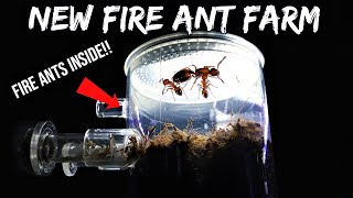 FIRE ANTS REACT TO THEIR NEW ANT FARM | Their First Time Digging Tunnels