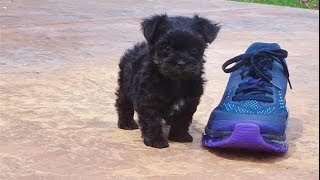 Tiny Female Morkie Designer Puppy In San Diego - Maltese X Yorkshire Terrier