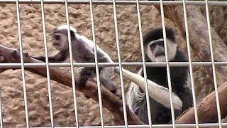 アビシニアコロブスの赤ちゃん (上野動物園)Baby Abyssinian colobus