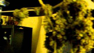 Curing Cannabis: Drying Buds to get that med quality stickyness!