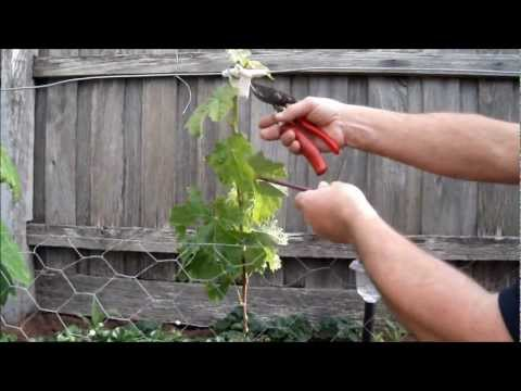 Training grape vines,Training Young Lateral,To Reach.The Wire.pt1