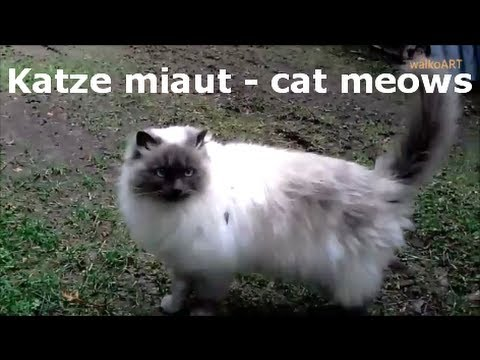 Katze miaut - cat  meows Balinese,Siamkatze oder Birma ? Siamese cat or Birman? Miau - Meow