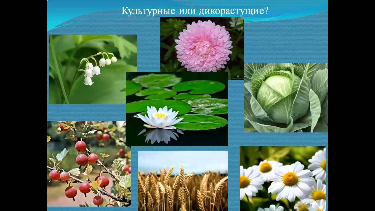 дикорастущие и культурные растения класс презентация