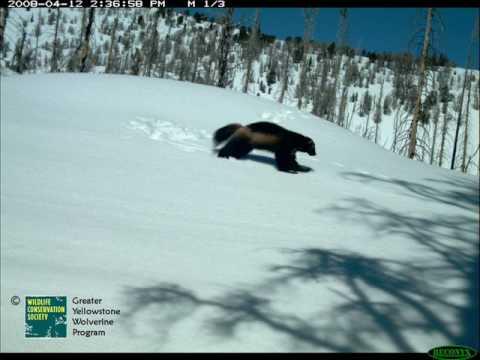 WCS Greater Yellowstone Wolverine Program
