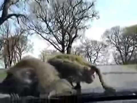 Видео обезьяны секс капот
