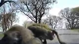 секс обезьян на капоте