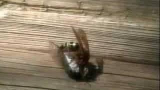 Giant Cicada Killer Wasp