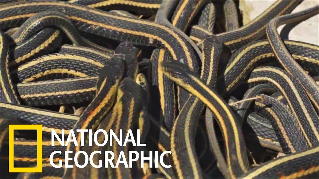 密集恐懼癥和恐蛇癥慎入!「餓肚子交配」導致雄襪帶蛇的壽命比雌蛇要短《國家地理》雜誌 - YouTube