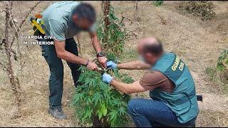 Desmantelada una plantación de marihuana en una isla en la confluencia de los ríos Duero y Pisu